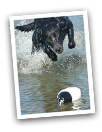 dog in water approaching bumper